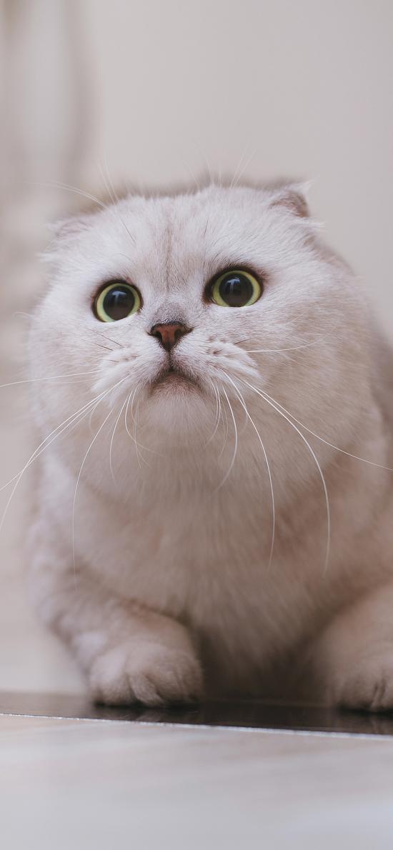宠物 猫咪 白色 可爱 大眼睛 萌(取自站酷网:克查)