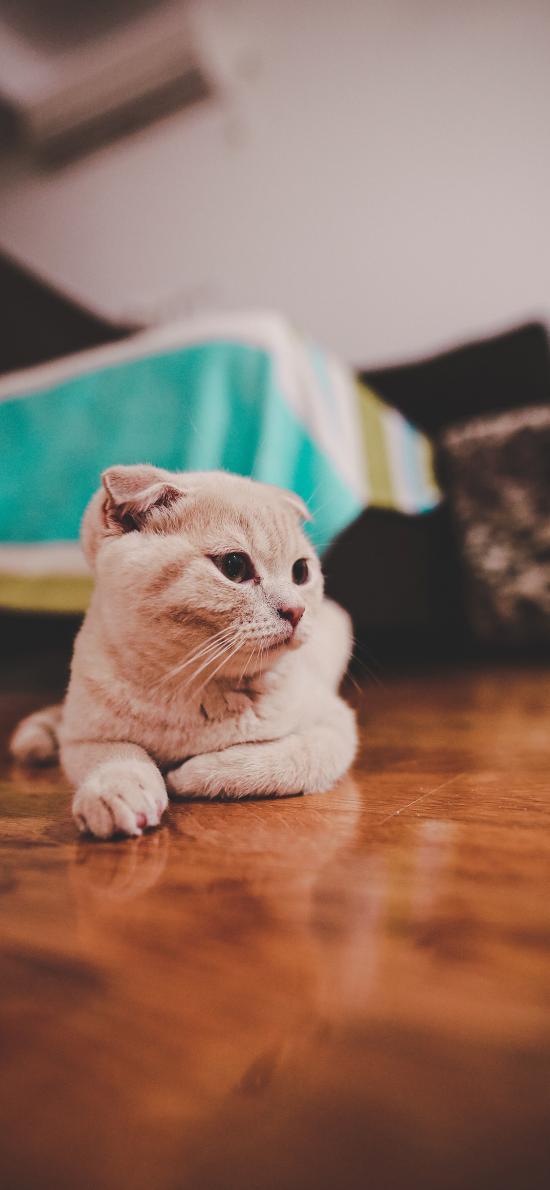 猫咪 宠物 地板 折耳