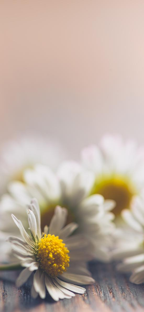 雛菊 鮮花 菊花 花朵