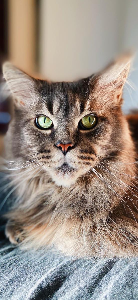貓咪 寵物 皮毛 長毛