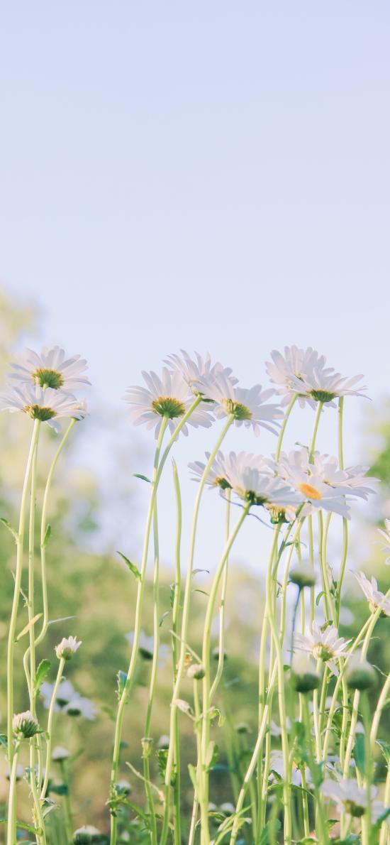 雛菊 菊花 鮮花 盛開