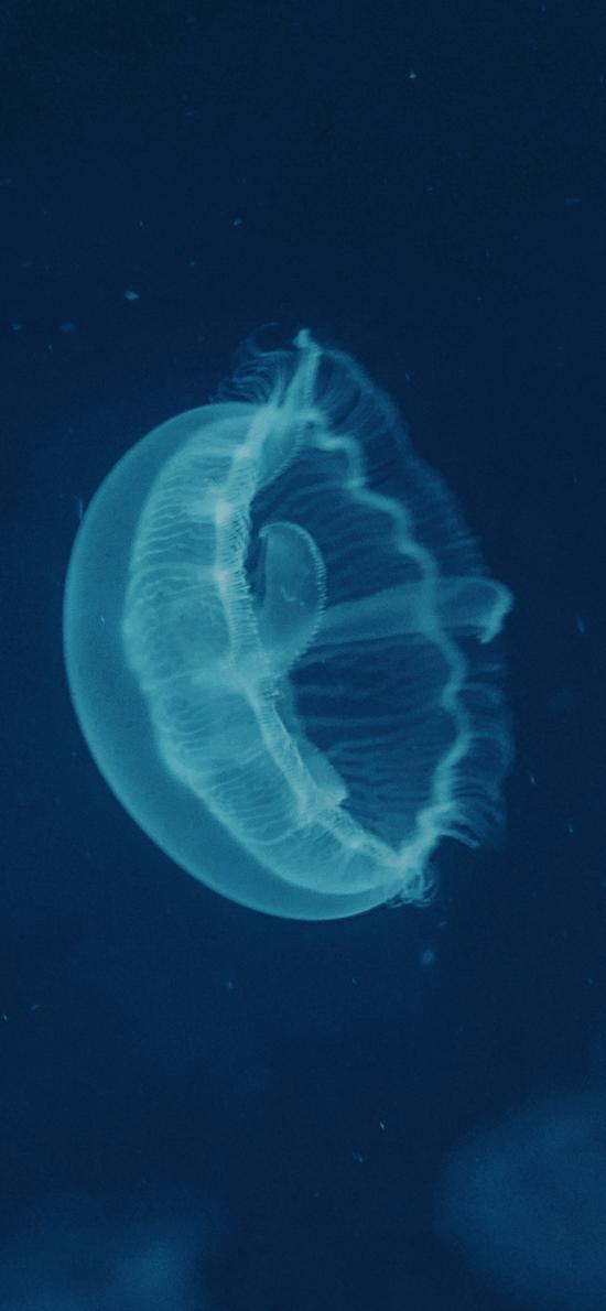 水母 海洋生物 透明 蓝色 游动