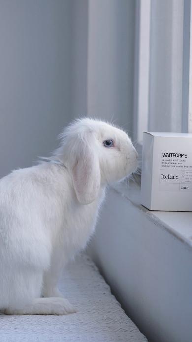 兔子 毛茸茸 可爱 宠物 白色