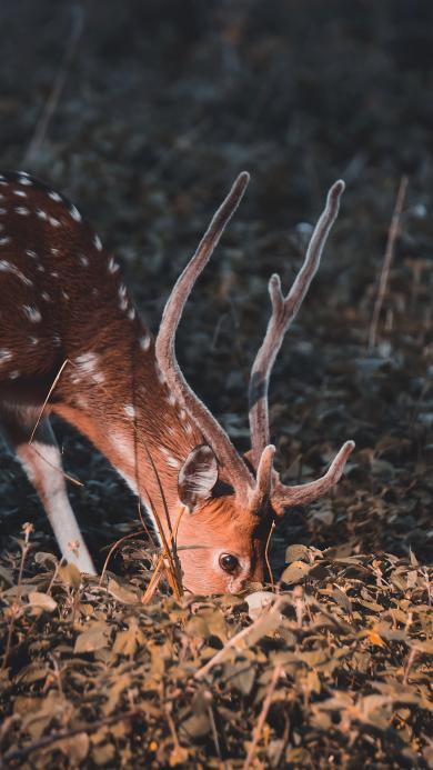 梅花鹿 鹿角 觅食 树林 光