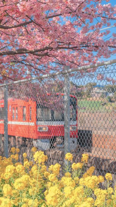 列车 樱花 油菜花 鲜花 春天