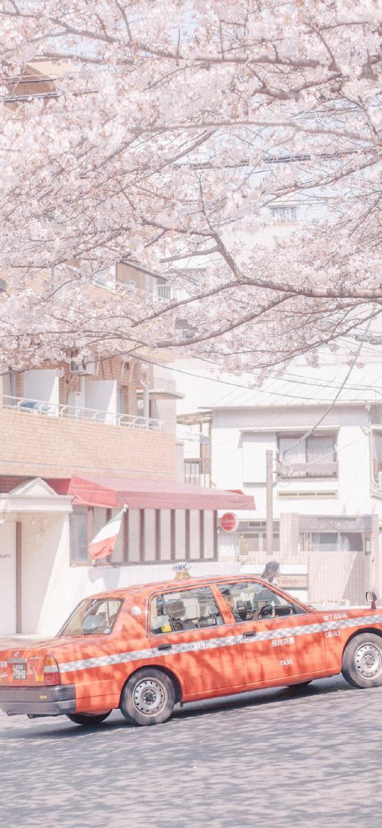 樱花 鲜花 盛开 粉色 春天 的士车 街道