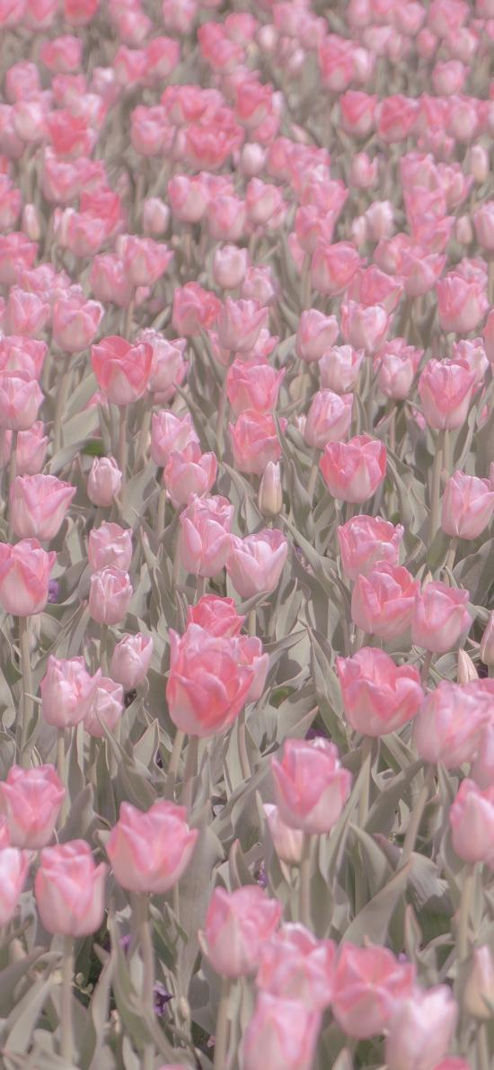 郁金香 鲜花 花海 盛开 粉色 春天