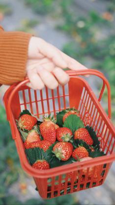 草莓 水果 新鮮 果實 果籃 采摘